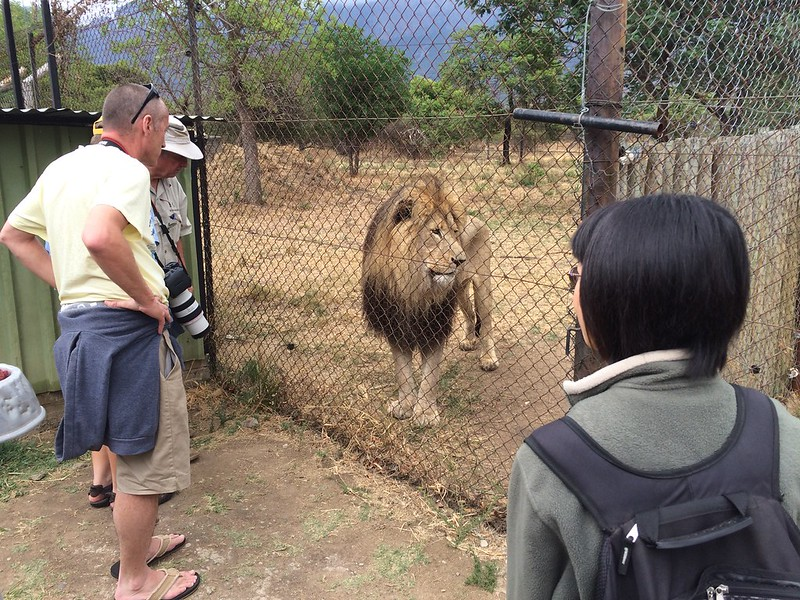 Closest I got to a lion at Moholoholo.