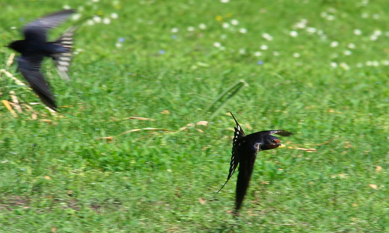Flying Swallow
