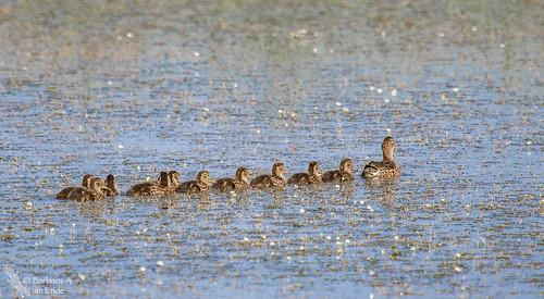 birds us pond colorado unitedstates july walden babyducks 2015 ducksinarow arapahonwr