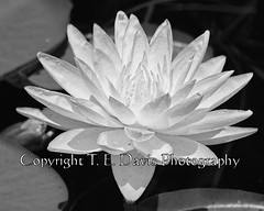 Yellow Water Lily in Black and White