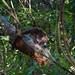 Coati, Parque Natural Metropolitano, Panama City, Panama