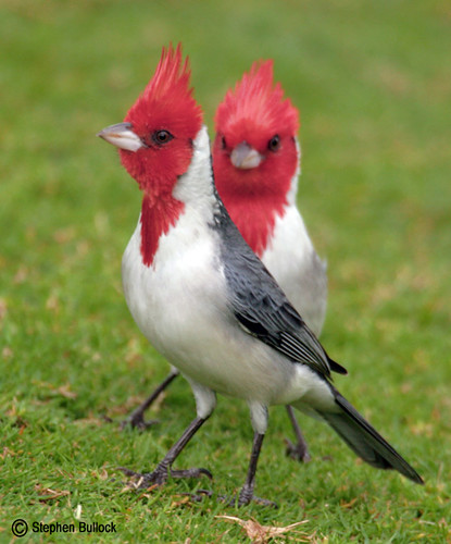 Red-Crested or Brazilian Cardinals