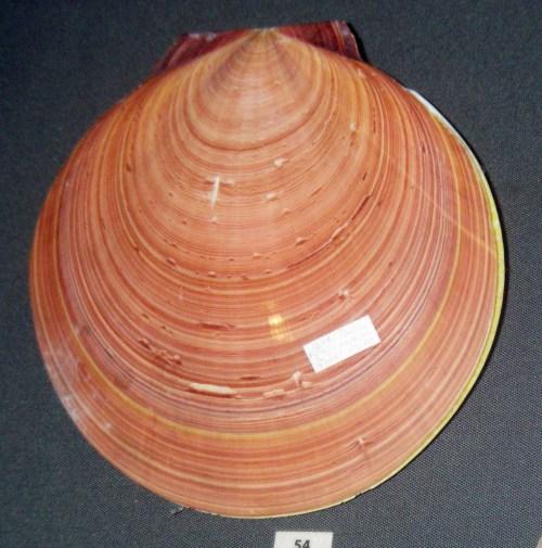 Amusium japonicum 20077499423_3f37f2d1ba_o