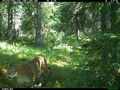 Cougar 1 - Vista Trail
