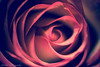 """red rose by """"'kenlwc"""