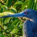 Blue heron by rick41241