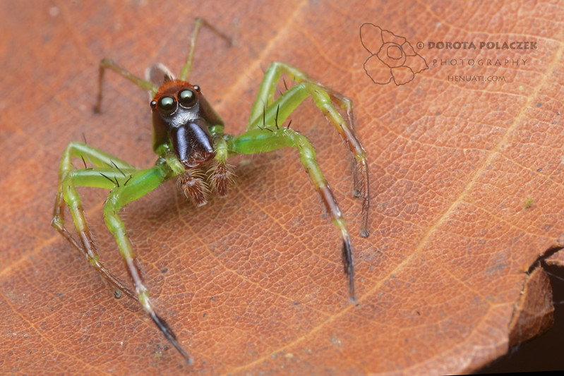 Jumping spider (Epeus sp.)