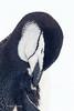 Chinstrap Penguin (Pygoscelis antarctica) by M Carmody Photography