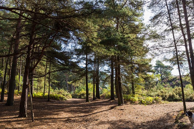 Walking through the pine trees
