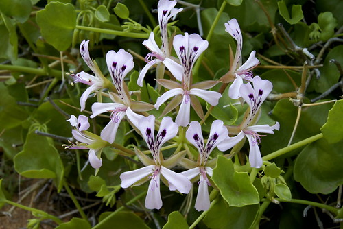 Pelargonium spinosum