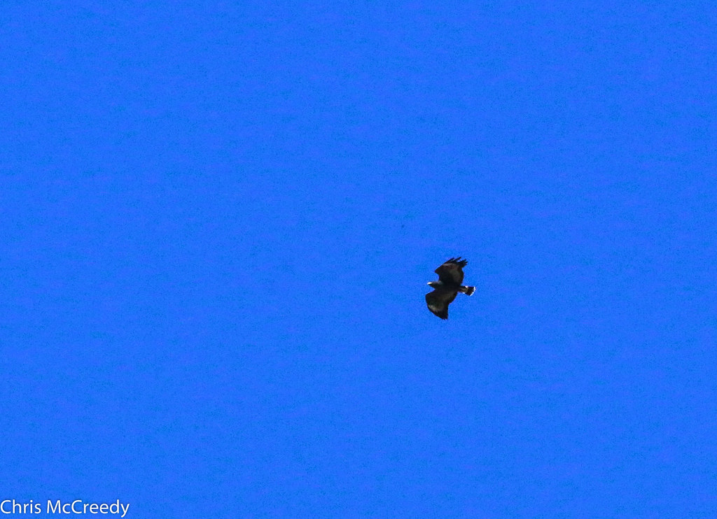 Common Black-Hawk | Santa Cruz River | Santa Cruz, AZ