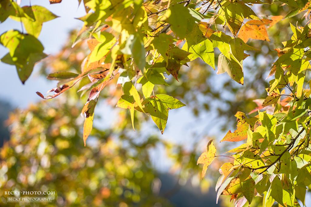 2015.Dec leaves @Hsinchu 新竹尖石秀巒楓葉