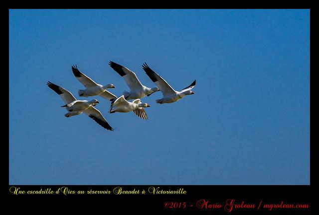 Une escadrille d'Oies au réservoir Beaudet à Victoriaville