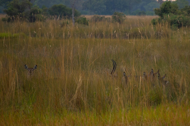 Waterbucks in the reeds