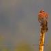 Chilean Pigeon - Patagioenas araucana - Torcaza by Paul B Jones