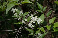 Clematis vitalba (Traveler's Joy, Old Man's Beard)