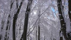Bukowy las przykryty śniegiem