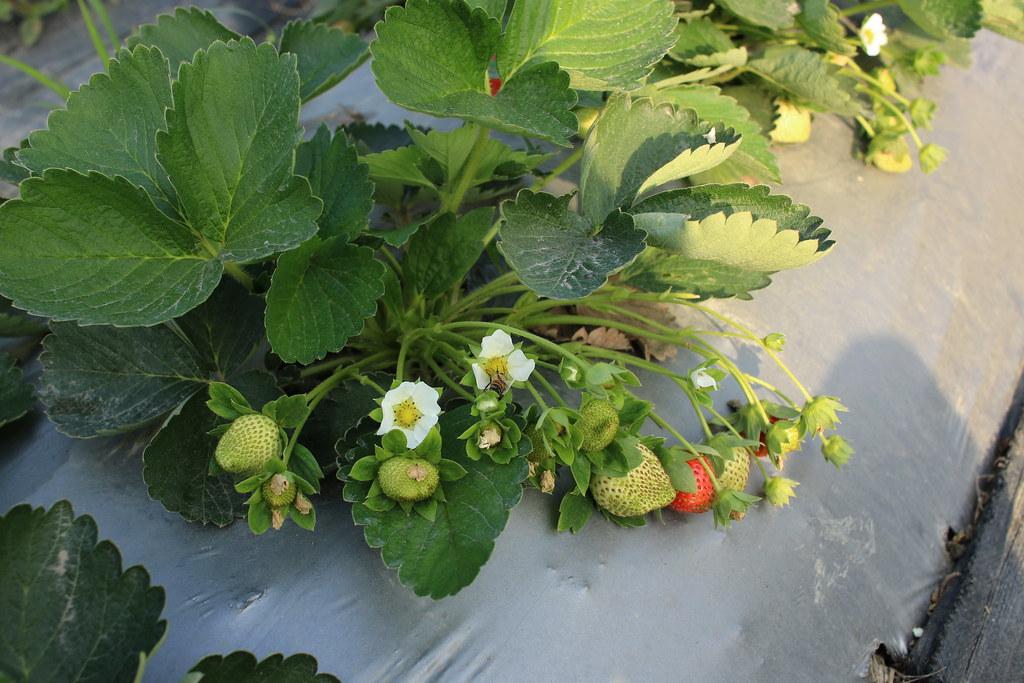 阿蓮三本草莓園 (9)