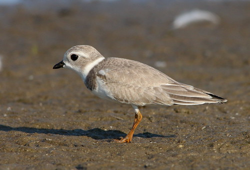 aves plover pipingplover shorebird conneaut ashtabulacounty ebird