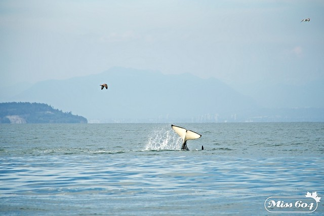 Killer Whale Tours San Juan Islands