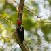 Pic de Malherbe, Crimson-crested Woodpecker3317.jpg by Zoizeaux de Gabriel