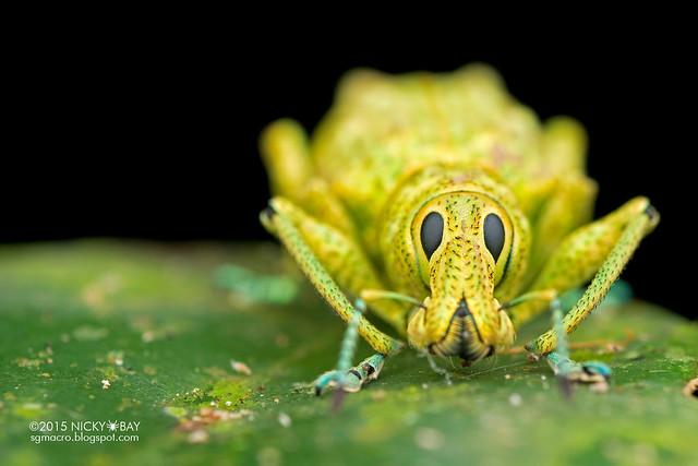 Weevil (Entiminae) - DSC_4019