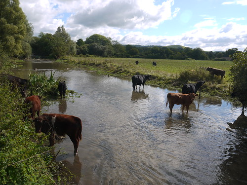 Cattle at Exton