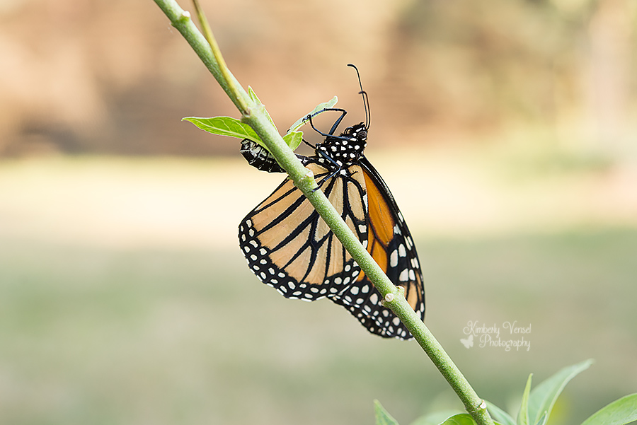 Monarch laying egg