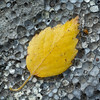Hawthorn Leaf on Oolite Limestone 2 **