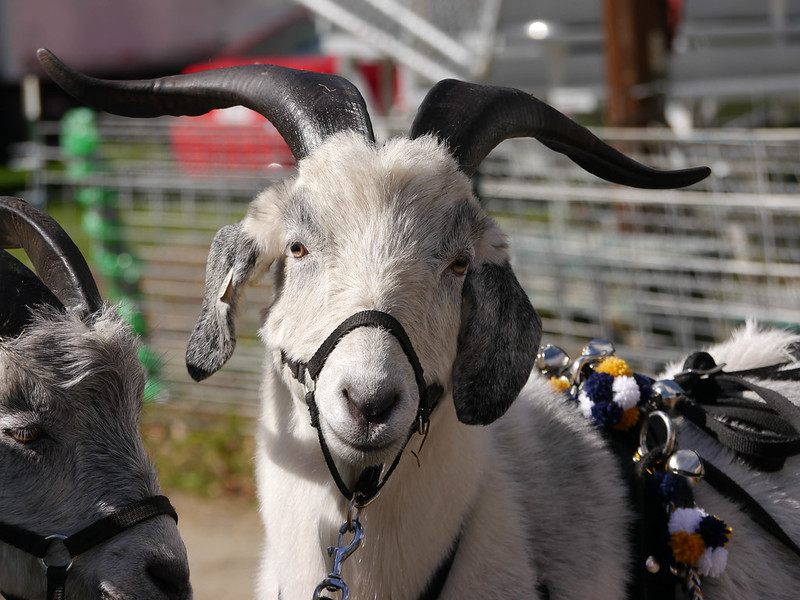 Harness goat