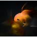 Fluffy the Goldfish by ....Nishant Shah....