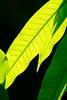 Mango leaves by Hatoriz