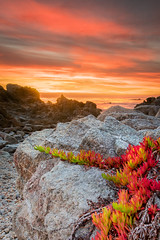 Ice Plant in the glow of sunset - Carmel, CA
