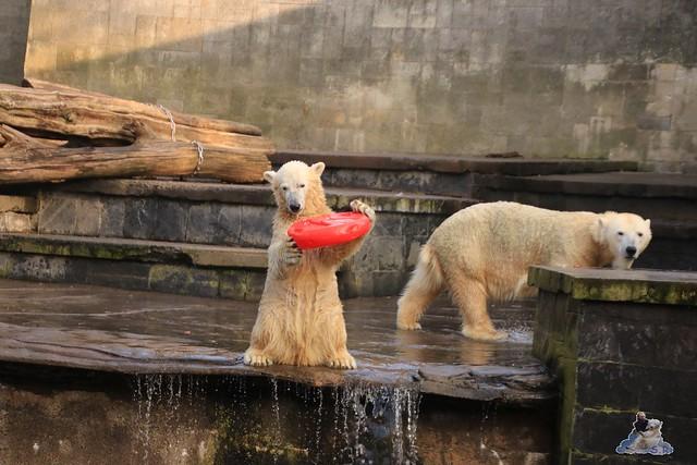 Eisbär Fiete im Zoo Rostock 31.10.2015 Teil 1  090