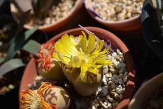 DSC_1739 Lithops dorotheae リトープス属 麗虹玉 (れいこうぎょく)