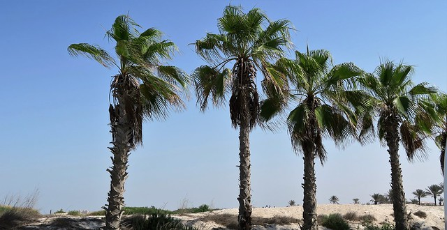 saadiyat beach trees