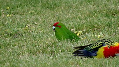 NZ Rosella and Red Crowned Parakeet