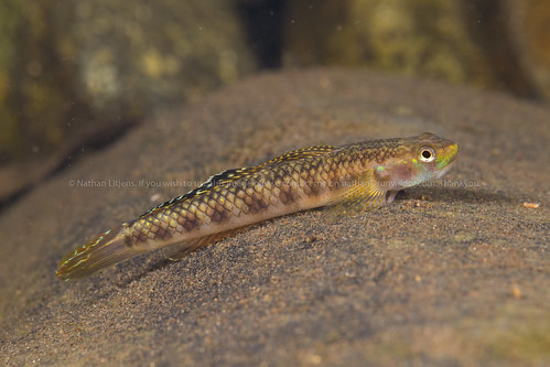 Red cling goby (Stiphodon rutilaureus)