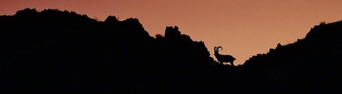 sunrise asia wildlife mongolia centralasia ibex gobidesert wildlifeviewing mongolianwildlife tostuul