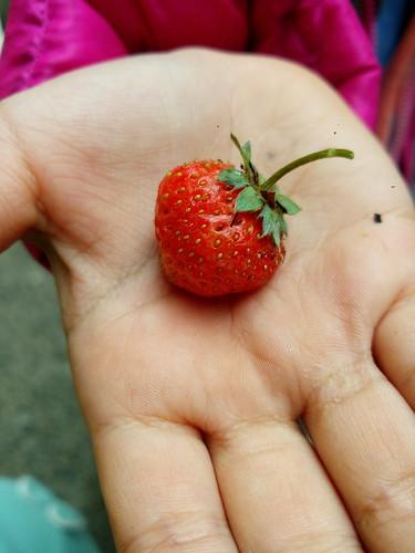 自種的香甜小果實。小小草莓+生活小紀錄