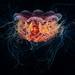 Cyanea capillata by Alexander Semenov