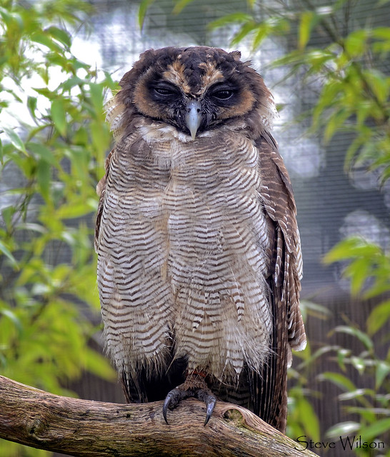 Brown Wood or Asian Owl