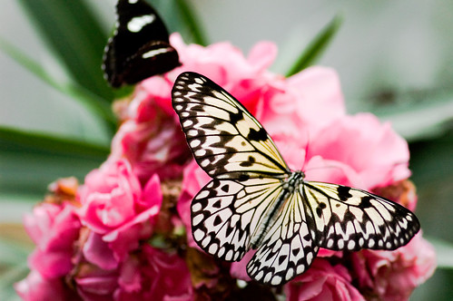 Pink Flower with Butterflies