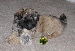 dog breed, animal, dog, schnoodle, pet, lã¶wchen, tibetan terrier, bolonka, poodle crossbreed, havanese, lhasa apso, morkie, chinese imperial dog, shih tzu, affenpinscher, carnivoran,