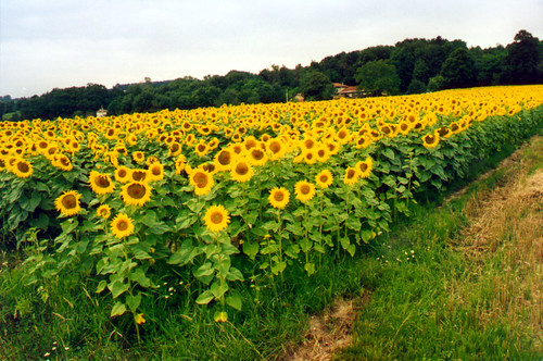 A sunflower field in France