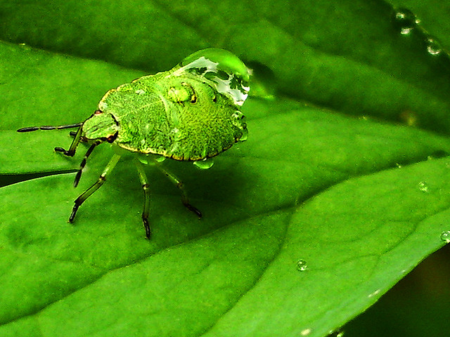 Green bug carry water droplets