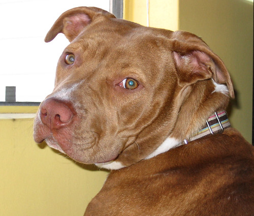 6 Easy Tips for How to Train Your Red Nose Pit Bull - DogVills