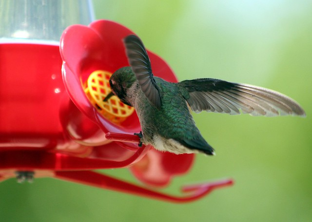 Hummingbird Backside