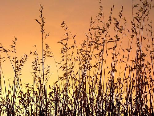 Gräser vor Sonnenuntergang
