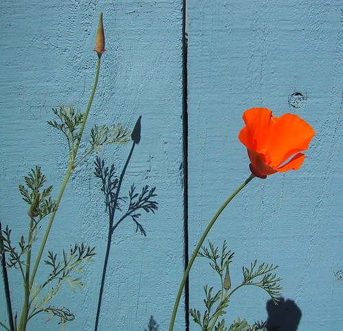 Poppy ~ Blue Fence ~ Afternoon Shadows